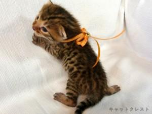 ベンガル猫の子猫1番オレンジちゃん111006-2