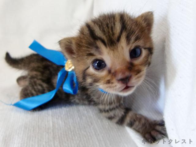 ベンガル猫の子猫5番ブルーくん111006-1