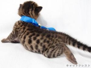 ベンガル猫の子猫5番ブルーくん111006-2