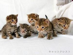 ベンガル猫の子猫111011