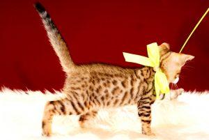 ベンガルの子猫 2017年8月18日生まれ 420番きいろ君 オス