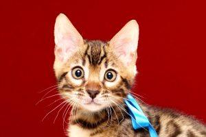ベンガルの子猫 2017年8月13日生まれ 399番あお君