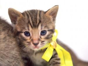 ベンガルの子猫2
