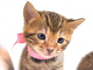 ベンガルの子猫3