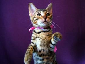 ベンガル子猫16番ピンクちゃん