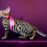 ベンガルの子猫16番ピンクちゃん
