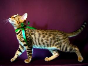 ベンガル子猫18番グリーンくん