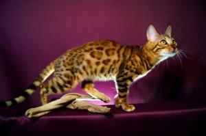 ベンガル猫チャコ4