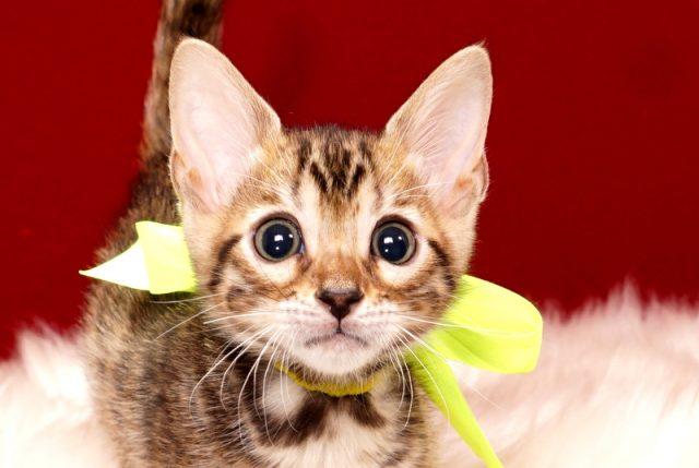 ベンガルの子猫 2017年9月16日生まれ 410番イエロー君 オス