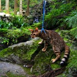 ベンガル猫と早朝の散歩
