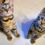 ベンガル専門ブリーダーの子猫たち