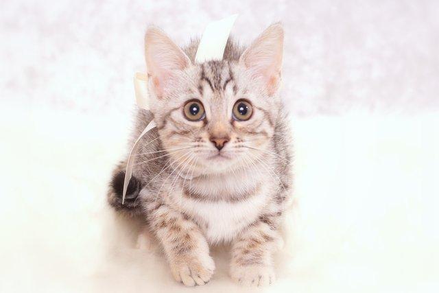 ベンガルの子猫 2016年12月28日生まれ 301番ホワイトちゃん
