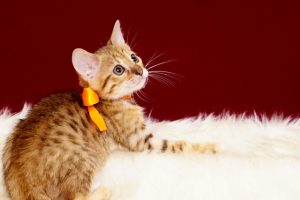 ベンガルの子猫2017年1月24日生まれ 311番オレンジちゃん