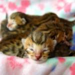 ベンガル 生まれたての子猫