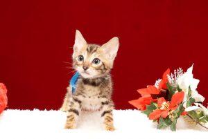 ベンガルの子猫2017年10月15日生まれ 427番あお君
