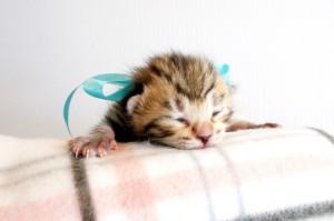 ベンガル子猫9番アクアちゃん