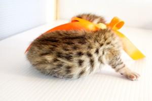 ベンガル子猫8番オレンジちゃん