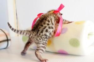 ベンガル子猫7番ローズちゃん