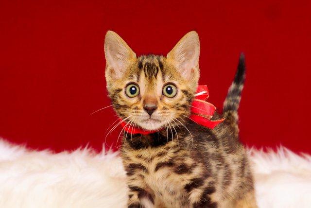 ベンガルの子猫 2017年2月6日生まれ 316番あかちゃん