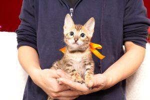 ベンガルの子猫2017年10月15日生まれ 429番オレンジちゃん