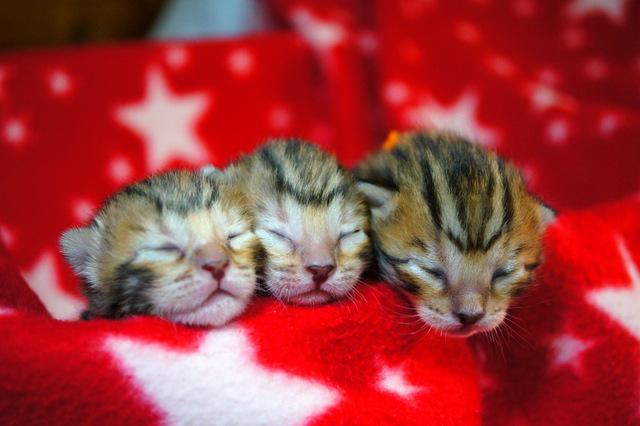 ベンガル3匹の子猫