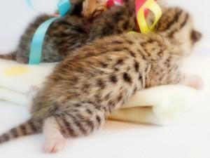 ベンガル子猫6番レモンちゃん