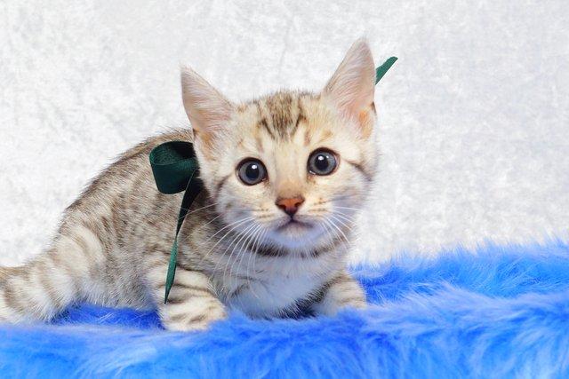 シルバーベンガルの子猫 2017年2月16日生まれ グリーン君