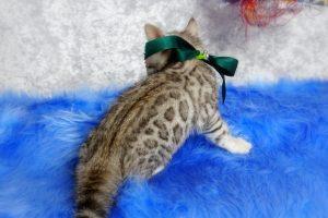 シルバーベンガルの子猫 2017年2月16日生まれ S320番グリーン君