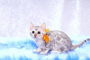 ベンガルの子猫2017年10月21日生まれ 433番オレンジちゃん