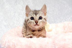 シルバーベンガルの子猫2017年2月16日生まれ ホワイトちゃん
