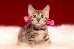 ベンガルの子猫 2017年2月6日生まれ 315番ももちゃん