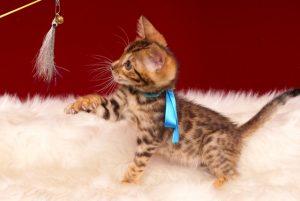 ベンガルの子猫2017年2月6日生まれ 314番あお君