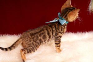 ベンガルの子猫 2017年2月6日生まれ 313番みずいろ君