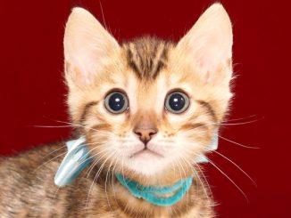 ベンガルの子猫2017年11月30日生まれ 446番みずいろ君