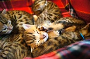 ベンガルの子猫の写真1