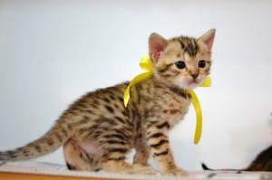 ベンガルの子猫 6番レモンちゃん