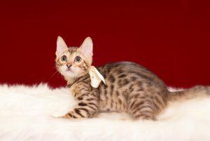 ベンガルの子猫2017年2月9日生れ N317番 ホワイトちゃん