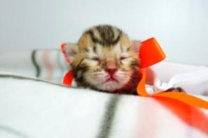 ベンガルの子猫 10番オレンジちゃん20120201-1
