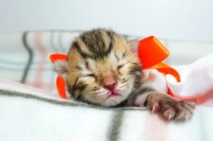 ベンガルの子猫 10番オレンジちゃん20120201-2