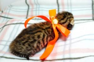 ベンガルの子猫 10番オレンジちゃん20120201-3
