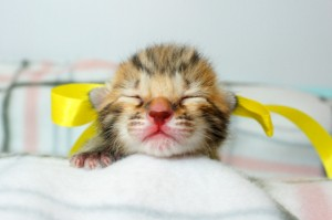 ベンガルの子猫 11番レモンちゃん20120201-2