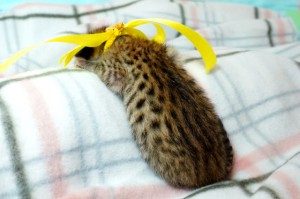 ベンガルの子猫 11番レモンちゃん20120201-4