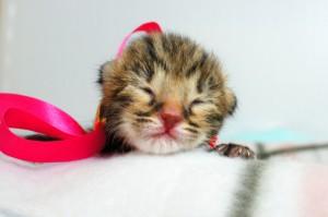 ベンガルの子猫 12番ローズちゃん20120201-2