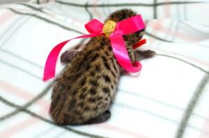 ベンガルの子猫 12番ローズちゃん20120201-3