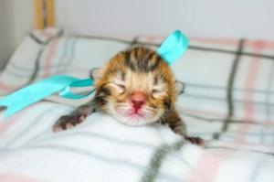 ベンガルの子猫 13番アクアくん20120201-2