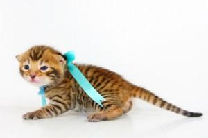 ベンガル子猫 13番アクア 20120216-4
