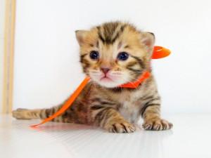 ベンガル子猫 10番オレンジ 201202160-4