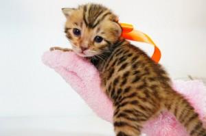 ベンガル子猫 10番オレンジ20120216-2