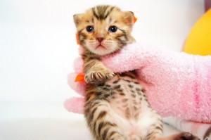 ベンガル子猫 10番オレンジ20120216-3