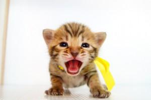 ベンガル子猫 11番レモン 20120216-4